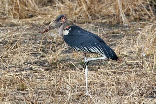 scavenging maribou stork)